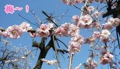 08.3梅モクレン散歩②.JPG