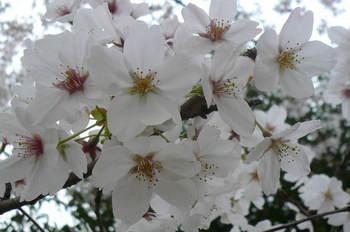 08.4.2桜三昧24.JPG