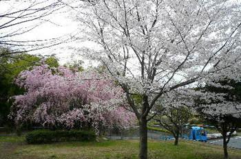 08.4.2桜三昧25.JPG