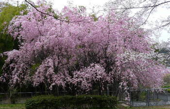 08.4.2桜三昧28.JPG