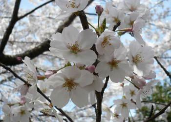 08.4.2桜三昧⑥.JPG