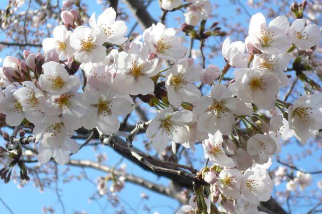 2012.3-4月河口湖&桜開花①.JPG