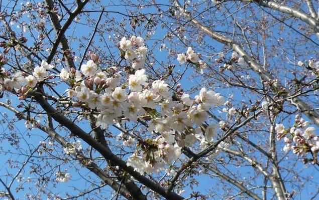 2012.3-4月河口湖&桜開花②.JPG
