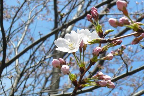 2012.4.7桜散歩21.JPG