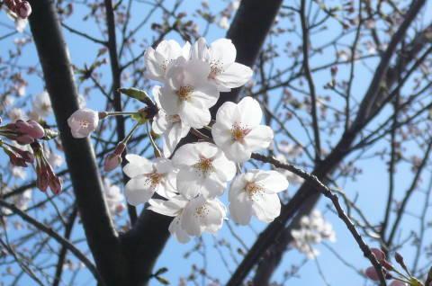 2012.4.7桜散歩22.JPG