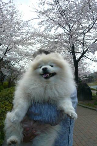 2012.4.7桜散歩23.JPG
