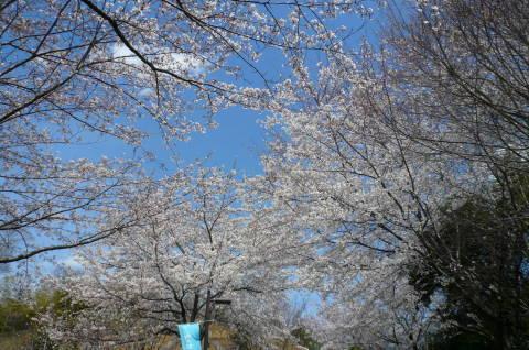 2012.4.7桜散歩25.JPG