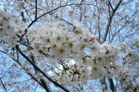 2012.4.7桜散歩27.JPG