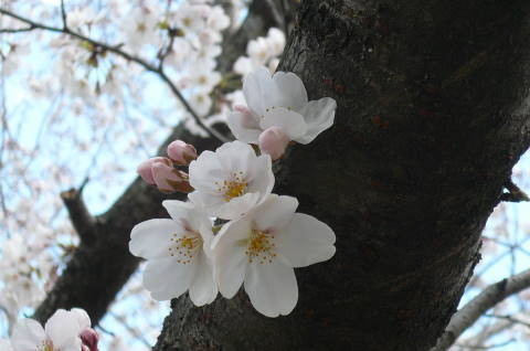2012.4.7桜散歩⑨.JPG
