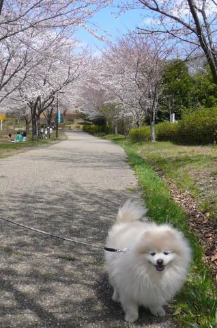 2012.4.7桜散歩⑮.JPG