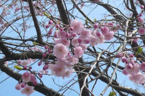 2012.4.7桜散歩⑱.JPG