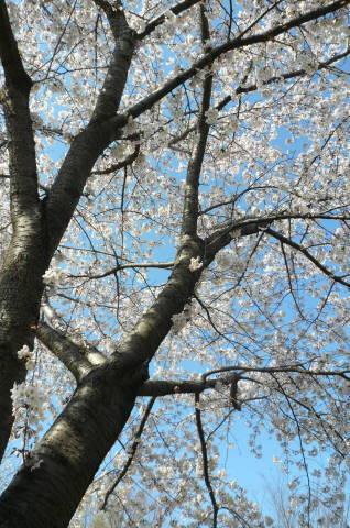 2012.4.8桜お花見散歩.JPG