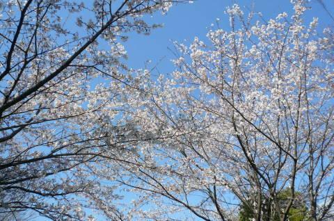 2012.4.8桜お花見散歩①.JPG
