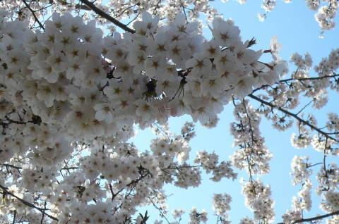 2012.4.8桜お花見散歩③.JPG
