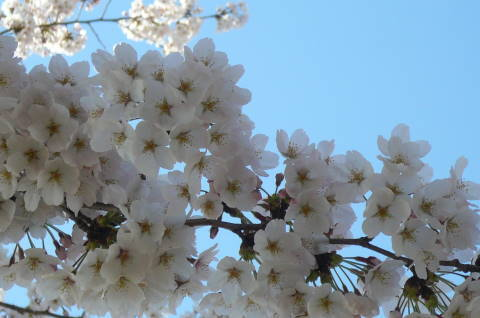 2012.4.8桜お花見散歩④.JPG