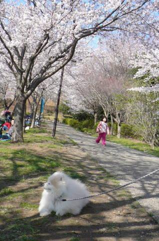 2012.4.8桜お花見散歩⑩.JPG