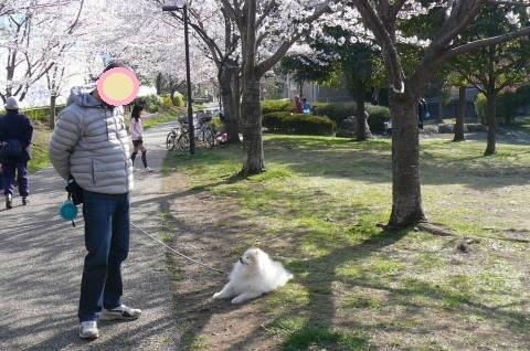 2012.4.8桜お花見散歩⑫.JPG