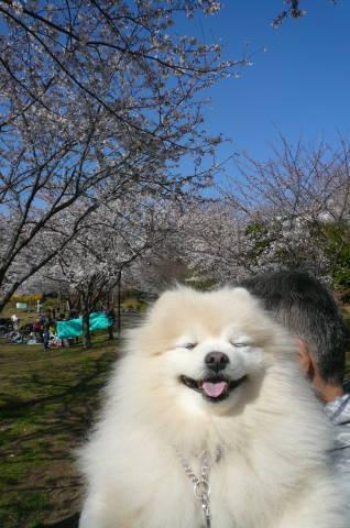 2012.4.8桜お花見散歩⑮.JPG