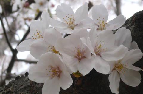 2012.4.9-15桜三昧21.JPG