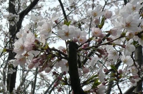 2012.4.9-15桜三昧①.JPG