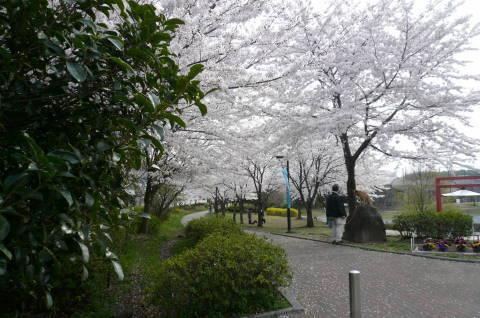 2012.4.9-15桜三昧②.JPG