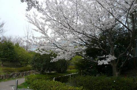 2012.4.9-15桜三昧⑤.JPG