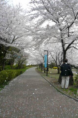 2012.4.9-15桜三昧⑥.JPG
