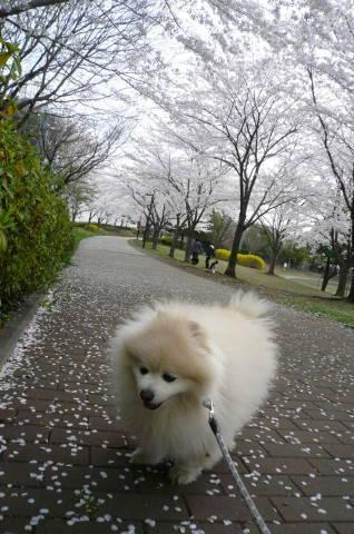 2012.4.9-15桜三昧⑦.JPG