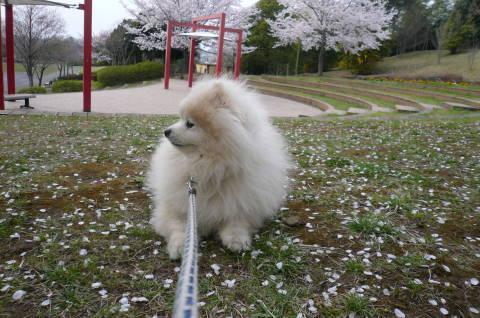 2012.4.9-15桜三昧⑧.JPG