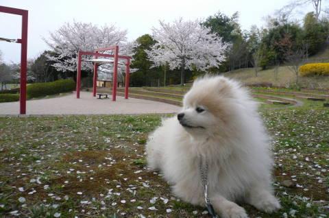 2012.4.9-15桜三昧⑨.JPG