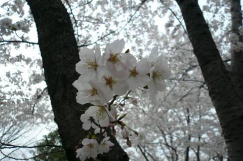 2012.4.9-15桜三昧⑩.JPG