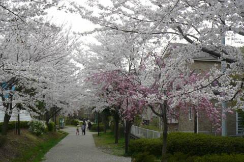 2012.4.9-15桜三昧⑬.JPG