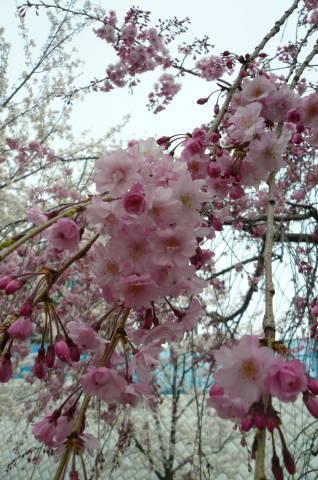 2012.4.9-15桜三昧⑯.JPG