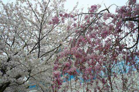 2012.4.9-15桜三昧⑰.JPG