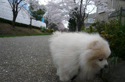 2012.4.9-15桜三昧⑱.JPG