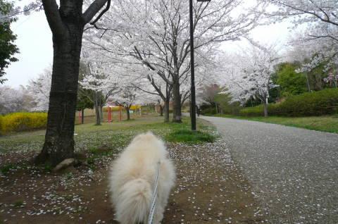 2012.4.9-15桜三昧⑲.JPG