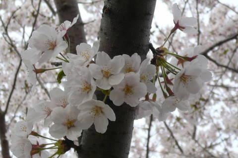 2012.4.9-15桜三昧⑳.JPG